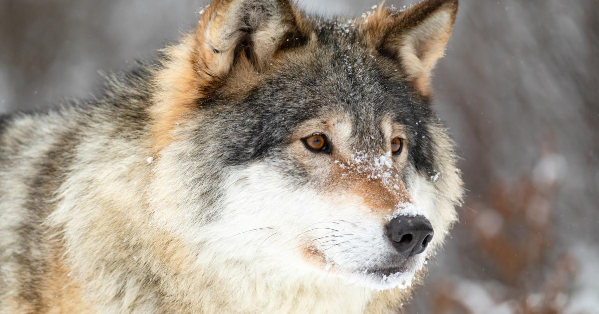 Flere henvendelser til ulvetracking – er der en ulv i Horsens?
